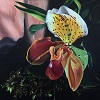 Weird and Wonderful (Lady Slipper Orchid)